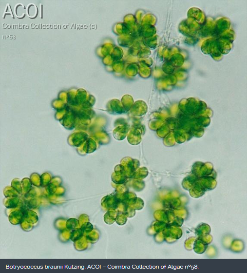 Botryococcus braunii Kützing. ACOI – Coimbra Collection of Algae nº58.